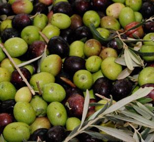 Novello 2017, das frische Olivenöl